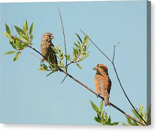 Crossbills Canvas Print - Two Red Crossbills by Loree Johnson