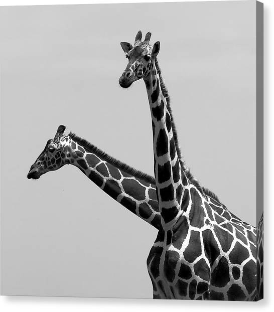 Giraffes Canvas Print - Two Reticulated Giraffes by Achim Mittler, Frankfurt am Main