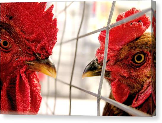 Two Roosters Canvas Print by Mark Stevenson