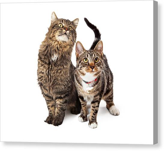 Cutout Canvas Print - Two Tabby Cats Looking Up by Susan Schmitz