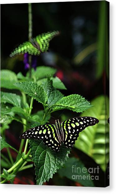 Two Tailed Jay Butterflies- Graphium Agamemnon Canvas Print