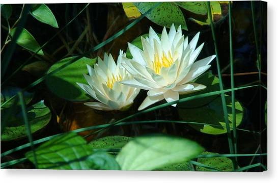 Two Waterlilies Canvas Print