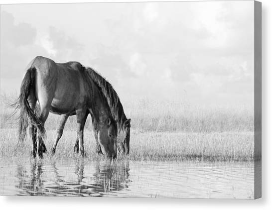Two Wild Mustangs Canvas Print