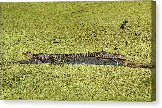 Canvas Print featuring the photograph Two Young Gators by Steven Sparks