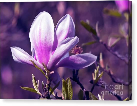 Ultra Violet Magnolia  Canvas Print