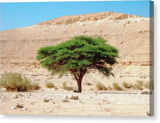 Negev Desert Canvas Print - Umbrella Thorn Acacia, Negev Israel by Ilan Rosen