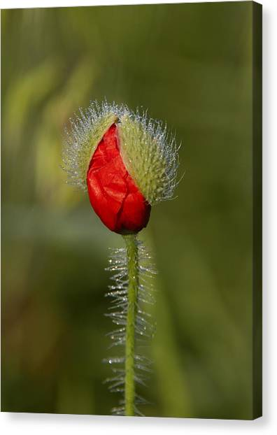 Under The Morning Dew Canvas Print