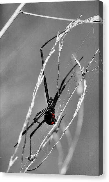 Black Widow Canvas Print - Unmistakable  by JC Findley
