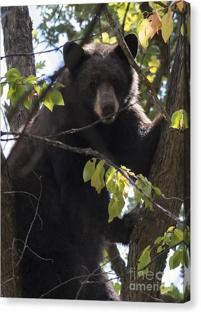 Black Bears Canvas Print - Up A Tree by Mike Dawson