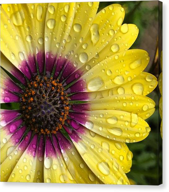 Daisy Up Close  Canvas Print