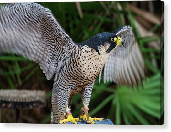 Upset Peregrine Canvas Print