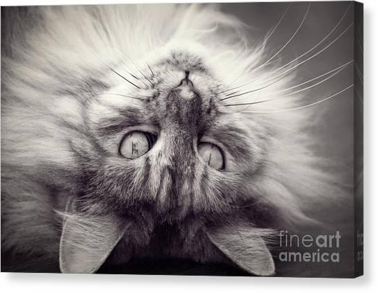 Upside Down Cat Canvas Print by Elaine Hillson