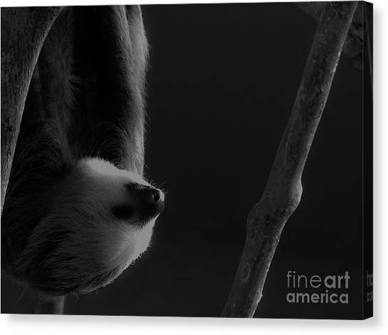 Upside Down Sloth Canvas Print