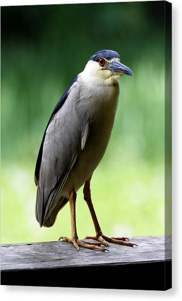 Upstanding Heron Canvas Print