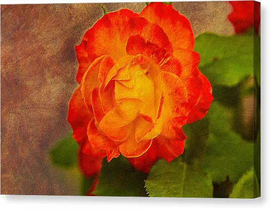 Variegated Beauty - Rose Floral Canvas Print by Barry Jones
