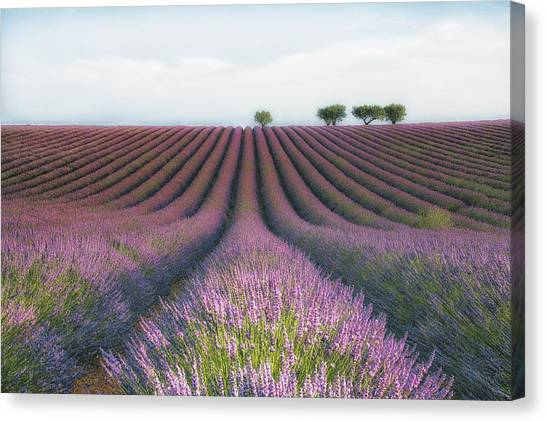 Flower Canvas Print - Velours De Lavender by Margarita Chernilova