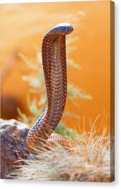 Poisonous Snakes Canvas Print - Venomous Cobra On Rock by Susan Schmitz