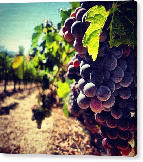 Wine Canvas Print - Verasion In The Vineyards by Crystal Peterson