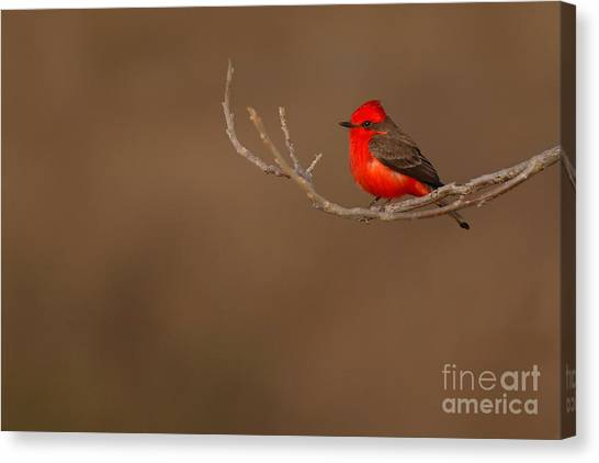 Flycatchers Canvas Print - Vermillion Flycatcher On Early Spring Perch by Max Allen