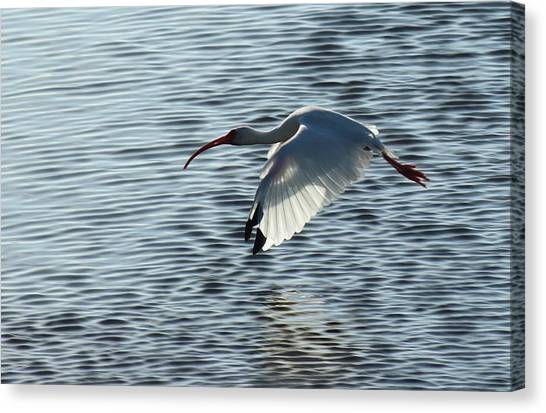 Ibis Fly By Canvas Print
