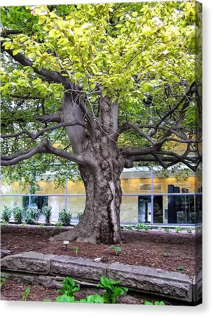 University Of Iowa Canvas Print - Very Old Tree U Of Ia Campus Iowa City Ia by Cynthia Woods