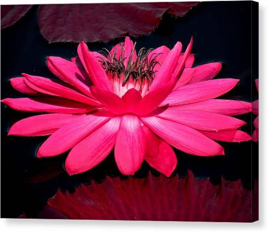 Very Pink Canvas Print by Rosalie Scanlon