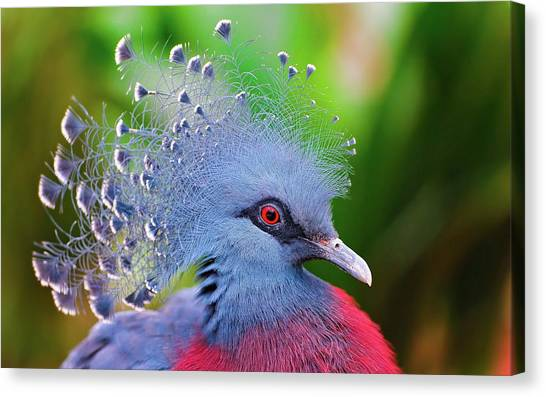 Peacocks Canvas Print - Victoria Crowned Pigeon by Jackie Russo