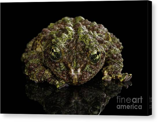 Reptiles Canvas Print - Vietnamese Mossy Frog, Theloderma Corticale Or Tonkin Bug-eyed Frog, Isolated On Black Background by Sergey Taran