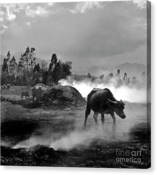 Vietnamese Water Buffalo  Canvas Print