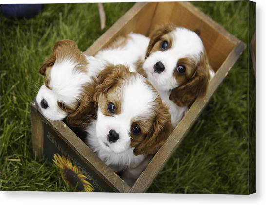 Cocker Spaniels Canvas Print - View From Above Of Three Puppies by Gillham Studios