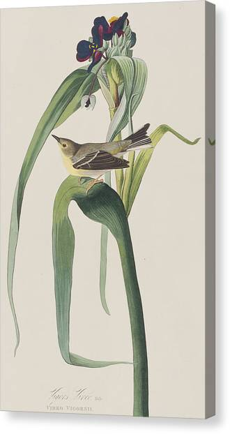 Warblers Canvas Print - Vigor's Warbler by John James Audubon