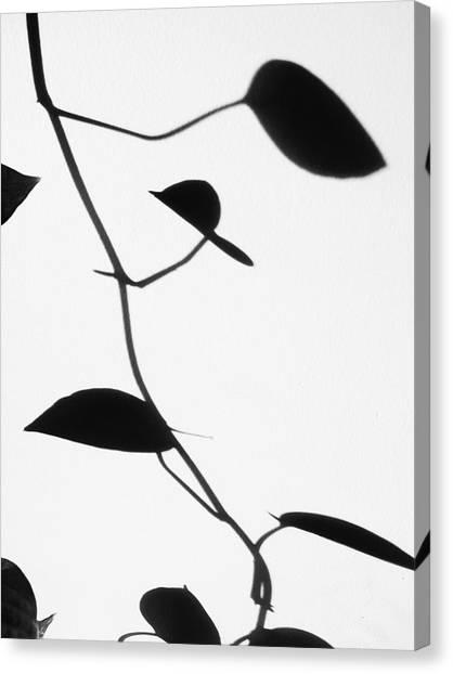 Vine Shadow Canvas Print