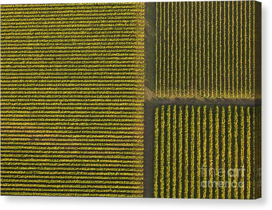 Wine Country Canvas Print - Vineyard From Above by Diane Diederich