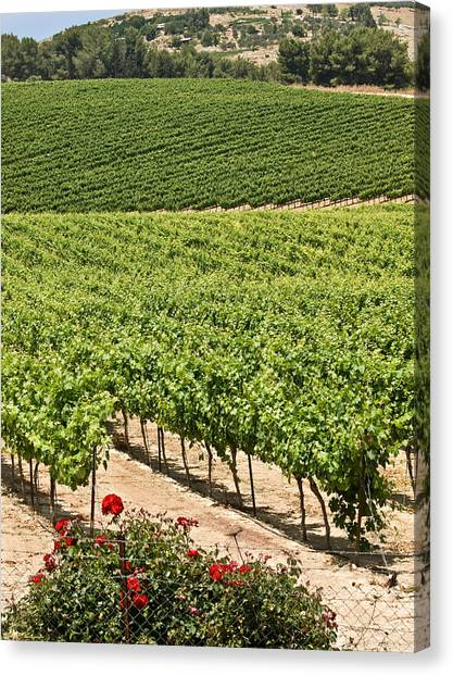 Vineyards In The Galilee Canvas Print by Arik Baltinester