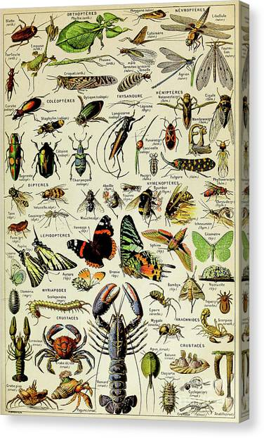 Centipedes Canvas Print - Vintage Illustration Of Various Invertebrates by Adolphe Philippe Millot