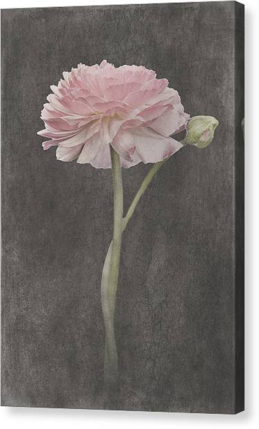 Canvas Print - Fluer D'amour - Ranunculus by Amanda Lakey