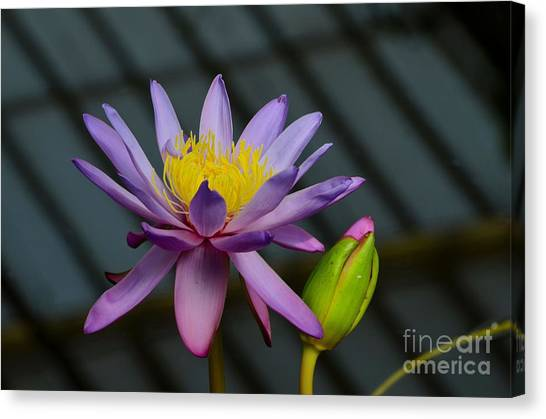 Violet And Yellow Water Lily Flower With Unopened Bud Canvas Print