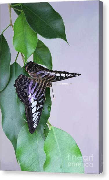 Violet Clipper Butterfly V2 Canvas Print