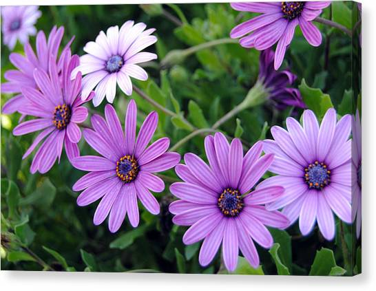 The African Daisy Flowers Canvas Print