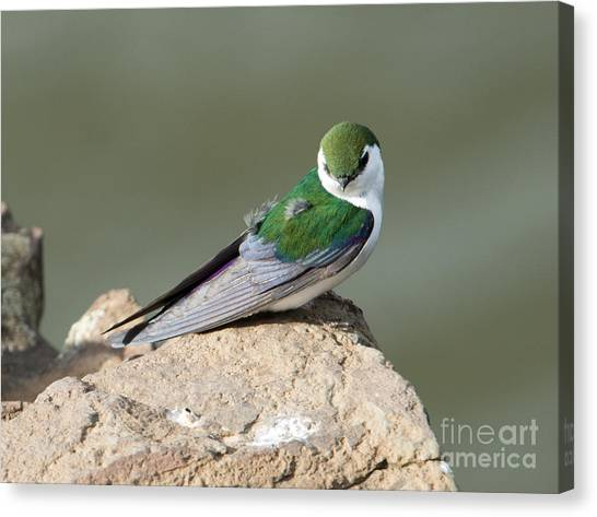 Swallow Canvas Print - Violet-green Swallow by Mike Dawson