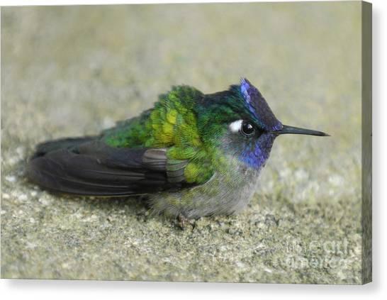 Arenal Volcano Canvas Print - Violet-headed Hummingbird by Hugh Lansdown/FLPA
