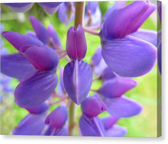 Violet Lupin Canvas Print by Jeremy Wolff