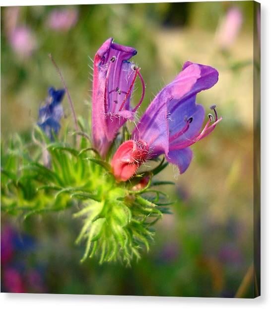 Viper's Bugloss 1 - Echium Vulgare Canvas Print