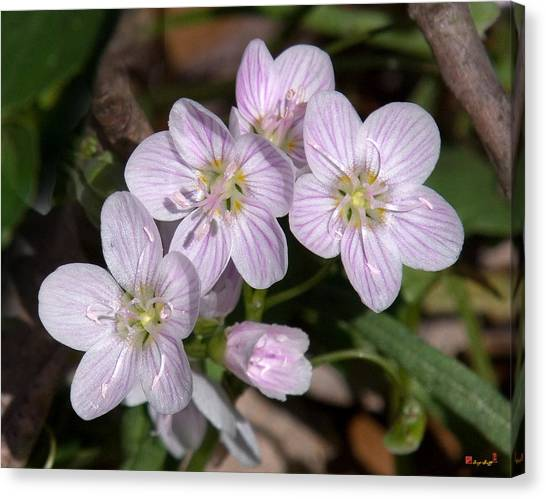 Virginia Or Narrowleaf Spring-beauty Dspf041 Canvas Print
