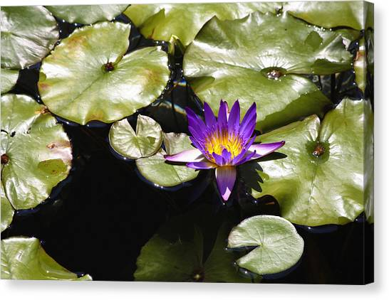 J Paul Getty Canvas Print - Vivid Purple Water Lilly by Teresa Mucha