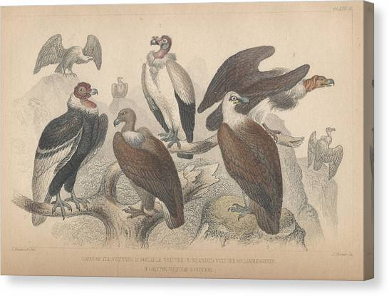 Condors Canvas Print - Vultures by Dreyer Wildlife Print Collections