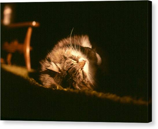 Main Coons Canvas Print - Wacket Sleeps by Chris Gudger