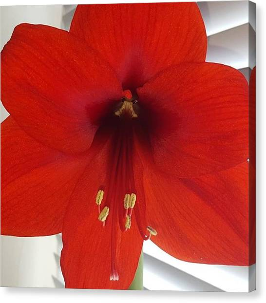 Waited 8 Weeks For My Giant Amaryllis Canvas Print by Dante Harker