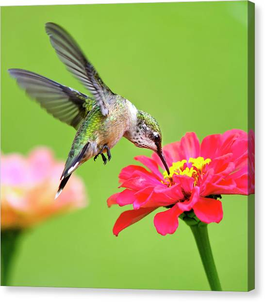 Waiting In The Wings Hummingbird Square Canvas Print