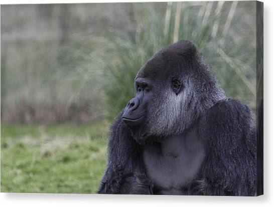 Gorillas Canvas Print - Wake Up Smell The Coffee by Nigel Jones